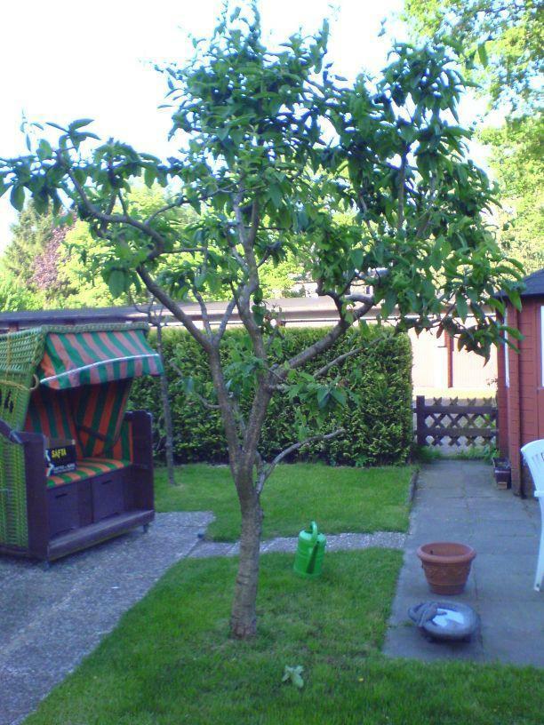 Mispel-Baum